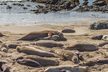 Mating Season In the Elephant Seal Colony, Ano Nuevo State Beach, California