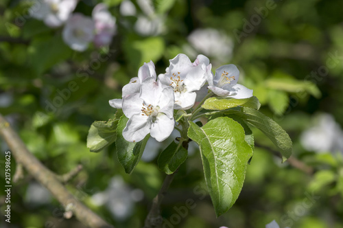Malus Branches With Beautiful Flowers Bright White Petals And