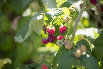 Fototapeta Maliny na krzewie, słońce obraz