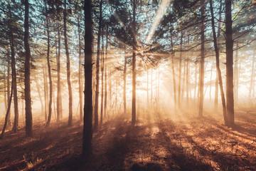 Papiers peints Forets Sun beams pour through trees in foggy forest