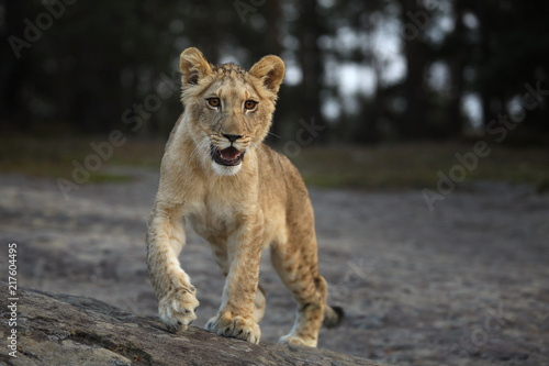 Panthera Leo Portrait Of Young Lioness Walking Throught Rock Place