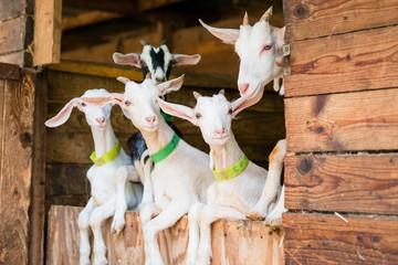 Jeune chèvres blanche sur porte d'étable