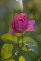 FLOWERS - sunny rose