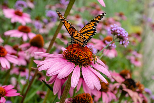 Monarch butterfly and bee on purple coneflower