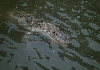 A Young Alligator in the Water with Fish Food