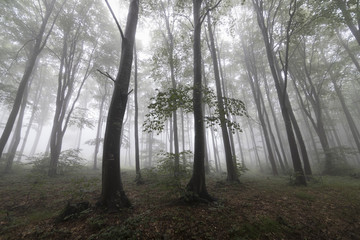 Trees in a very mist forest at Mount Buzludzha in Bulgaria, Balkan mountains
