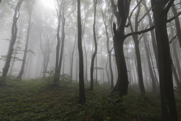 Trees in a very misty forest at Mount Buzludzha in Bulgaria, Balkan mountains