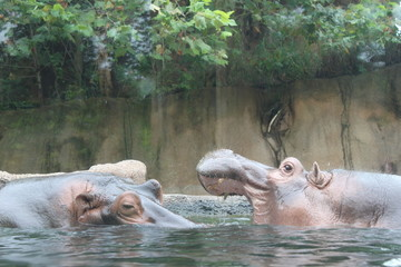Two hippos fighting in zoo habitat with water