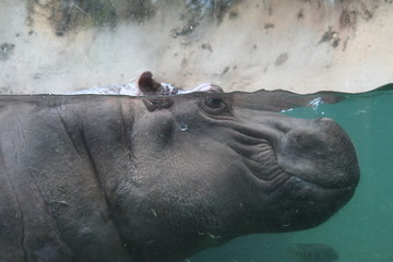 Hippopotamus  with face under water from the side
