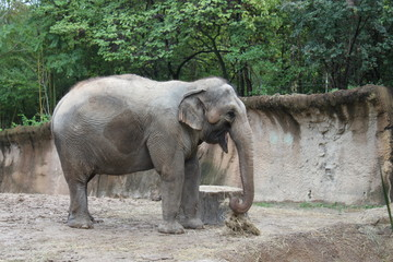 Elephant with trunk in habitat at zoo