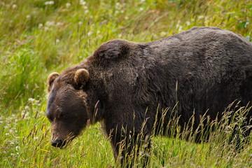 Alaskan Brown Bear - Grizzly - ( ursus arctos )