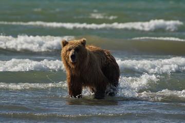 Pacific Coastal Brown bears (usus arctos) - grizzliy - on the Kenai peninsual