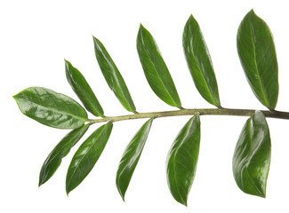 Branch with fresh green Zamioculcas zamiifolia leaves on white background