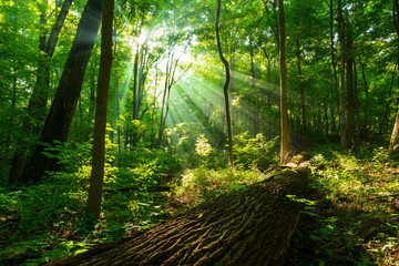 Rays of sunlight shining through  green forest  Wall mural