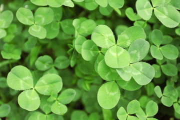 Green clover leaves as background