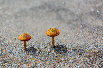 Two small mushrooms grow on the sand
