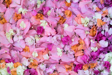 Background of of the bougainvillea petals
