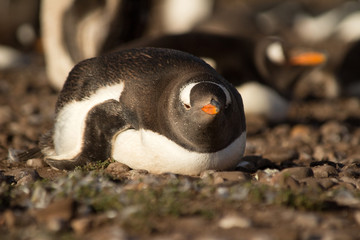 A close up of a gentoo penguin (Pygoscelis papua) laying down - Falkland Islands