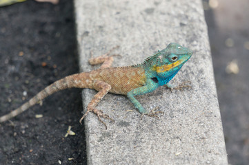 Lizard with green head on concrete path
