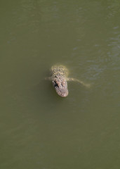 A Young Alligator in the Water