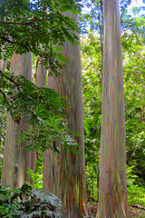 Rainbow eucalyptus (Eucalyptus deglupta), a tree with an incredible colorful bark,  near Ke'Anae, Maui, Hawaii