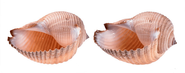 two seashells in different angles isolated on white background