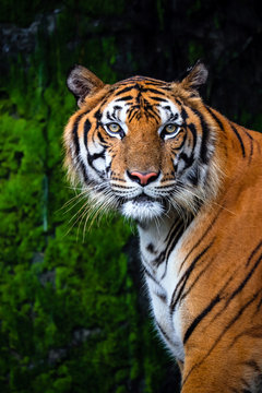 close up portrait of beautiful bengal tiger with lush green habitat background