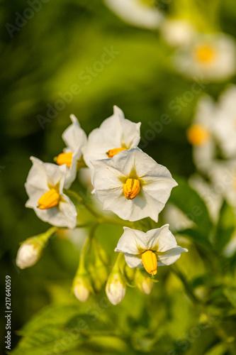 Beautiful white flower with yellow stamens under the sun in the beautiful white flower with yellow stamens under the sun in the garden mightylinksfo