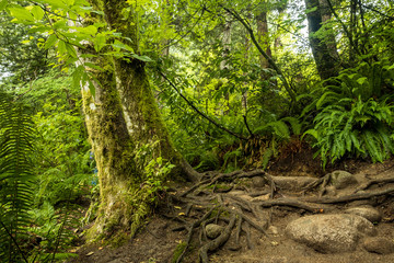 trail on the side of two trees covered in mosses with exposed roots in the forest