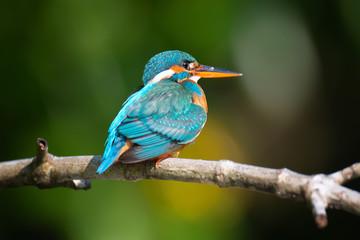 Blue Kingfisher bird