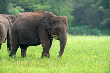 Elephants in National Park of Sri Lanka