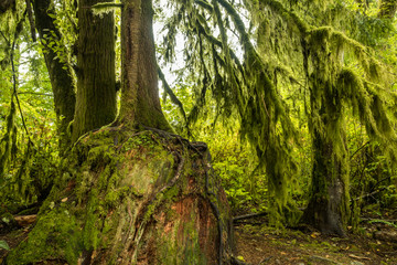 tree grow out of a giant rock covered in green mosses in the forest