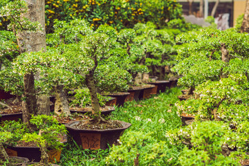 bonsai in honor of the Vietnamese new year. Lunar new year flower market. Chinese New Year. Tet