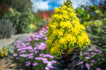 Striking yellow flowers of the succulent plant called Houseleek Tree, native to Canary Islands of the coast of Africa, here in Australian environment at a Botanic Garden in the Blue Mountains