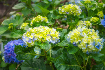 Purple and Yellow Hydrangea Flowers , hardy shrubs with large flower heads coming in different species and color varieties, here in garden beds at Sydney University, Australia.