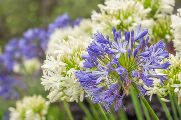 Striking Blue and White Agapanthus Flowers or 'Lily of the Nile' are very hardy plants and drought tolerant. blooming all over Sydney in summer.