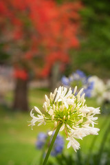 A White Agapanthus Flower o a blurred blooming trees background in North Sydney, Australia.