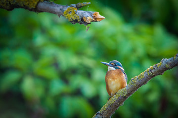 Common European Kingfisher or Alcedo atthis perched on a stick above the river and hunting for fish