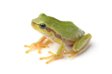 European tree frog (Hyla arborea) on white