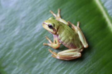European tree frog sitting on green leaf