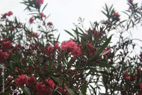 nerium oleander stock photo and royalty free images on fotolia com