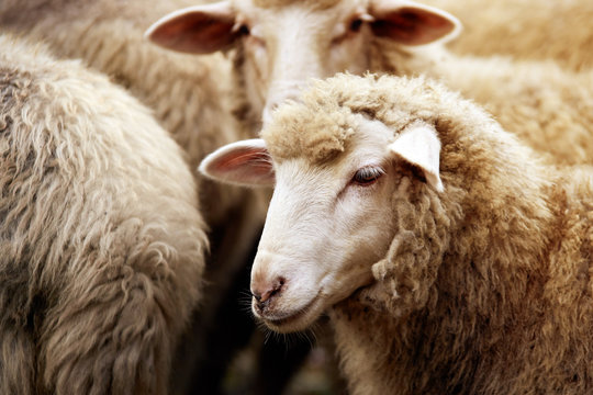 Sheep muzzle outdoors. Standing and staring breeding agriculture animal