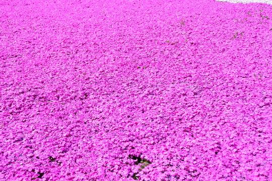 埼玉県の羊山公園の芝桜