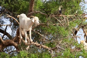 Goat on the argan tree, Morocco