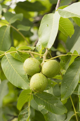 Three walnuts in detail and green leaves on a tree.