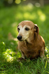 Closeup of portrait of a red-haired cute dachshund on green grass in a summer sunny day