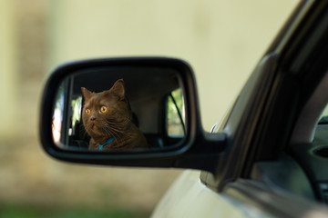 The brown British cat looking into the distance on the road - reflected in the side mirror of the car
