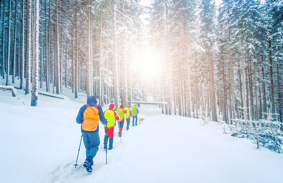 Hikers go up on snow slope in snow-covered pine forest in winter. Tourists trekking in winter forest