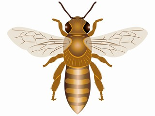 illustration of bee , vector draw