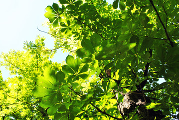 Green chestnut leaves on bright blue sunny sky background, view from ground on top